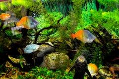 Grupa ryba pływa w akwarium Obraz Royalty Free