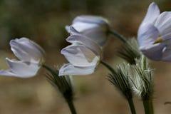 Grupa rzadcy i ochraniający kwiaty kwitnie w lesie zdjęcie stock