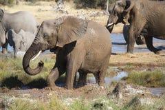 Grupa słonie bawić się z błotem i wodą w waterhole Et Obrazy Royalty Free