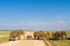 Grupa słonie krzyżuje drogę Amboseli, Kenja Obraz Stock