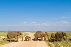 Grupa słonie z dzieckiem krzyżuje drogę Amboseli, Kenja Zdjęcie Stock