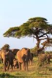 Grupa słonie zbliża drzewa Amboseli, Kenja Obraz Royalty Free