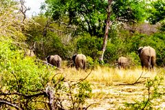 Grupa słonie znika w lesie póżniej jest przy Olifantdrinkgat, podlewanie dziura w Kruger parku narodowym zdjęcia stock