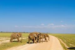 Grupa słonie Amboseli, Kenja Obrazy Royalty Free