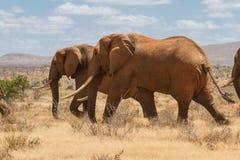 Grupa słonie w Savana, Tsavo park narodowy, Kenja Fotografia Royalty Free