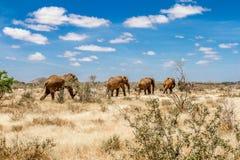 Grupa słonie w Savana, Tsavo park narodowy, Kenja Zdjęcie Royalty Free