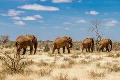 Grupa słonie w Savana, Tsavo park narodowy, Kenja Obrazy Royalty Free