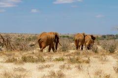 Grupa słonie w Savana, Tsavo park narodowy, Kenja Zdjęcie Stock