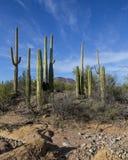 Grupa saguaros Zdjęcie Stock