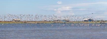 Grupa Sanderling przy Lagoa robi Peixe zdjęcia royalty free