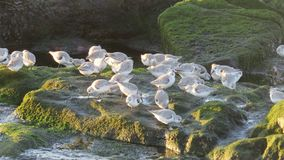 Grupa sandpipers na plaży zdjęcia stock