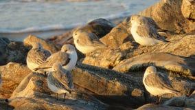 Grupa sandpipers na plaży zdjęcia royalty free
