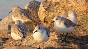 Grupa sandpipers na plaży zdjęcie royalty free