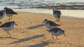 Grupa sandpipers na plaży obraz stock
