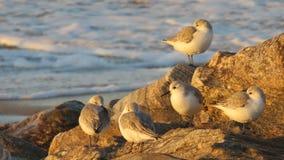Grupa sandpipers na plaży fotografia royalty free