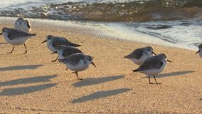Grupa sandpipers na plaży fotografia stock