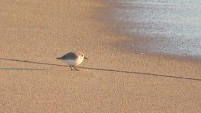 Grupa sandpipers na plaży obrazy royalty free