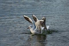 Grupa seagulls lata i ląduje na wodzie zdjęcie royalty free