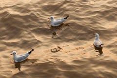 Grupa Seagulls w zmierzchu Zdjęcia Stock