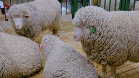 Grupa sheeps zdjęcie wideo