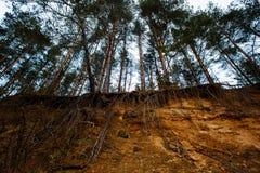 Grupa sosny wystawiał ogromna glebowa erozja obraz stock