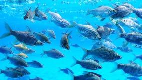Grupa srebna barbet ryba obrazy stock