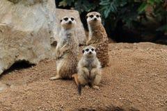 grupa suricata zwierzęta zdjęcia stock
