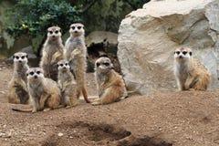 grupa suricata zwierzęta zdjęcia royalty free