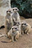 grupa suricata zwierzęta fotografia royalty free