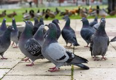 Grupa szarzy gołębie w miasto parku obraz stock