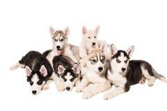 Grupa szczeniaki hoduje husky odizolowywających na białym tle Obraz Royalty Free