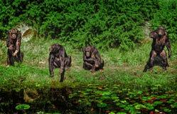 Grupa szympansy Zdjęcie Stock