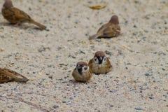 Grupa themselves w piasku dla grzać z naturalnym tłem mała wróbel próba inset zdjęcia stock