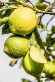 Grupa trzy cytryny od Sicily na drzewie Zdjęcia Royalty Free