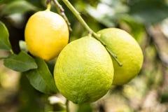 Grupa trzy zielonej cytryny od Sicily na drzewie Obraz Royalty Free