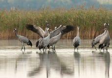 Grupa żurawie w ranek pozyci w lak (Grus Grus) Obraz Royalty Free