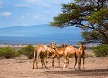 Grupa wielbłądy w Afryka Fotografia Royalty Free