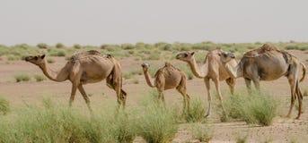 Grupa wielbłądy w pustynnym Sahara w Mauretania, afryka pólnocna Fotografia Royalty Free