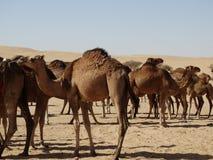 Grupa wielbłądy w saudyjczyku - arabska pustynia Zdjęcia Royalty Free
