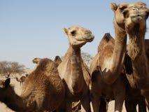 Grupa wielbłądy w saudyjczyku - arabska pustynia Obrazy Royalty Free