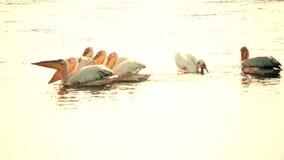 Grupa wielcy biali pelikany unosi się na wodzie zbiory