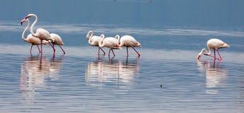Grupa wielcy flamingi watuje przez jeziora Zdjęcie Royalty Free