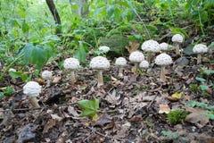 Grupa wiele biel pieczarki r w lesie, potencjalnie jadowity grzybowy Kostrzewiasty parasol - Chlorophyllum rhacodes, późne lato Obrazy Stock
