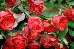 Grupa wiele czerwieni róży bukiet fotografia stock
