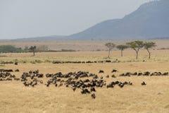 Grupa wildebeest przy Masai Mara zdjęcie royalty free