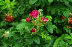 Grupa wrzosa kwiat Zdjęcie Royalty Free