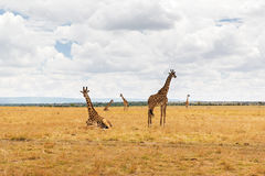 Grupa żyrafy w sawannie przy Afryka Zdjęcie Royalty Free