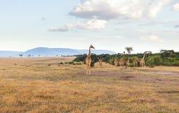 Grupa żyrafy w sawannie przy Afryka Obraz Stock