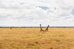 Grupa żyrafy w sawannie przy Afryka Obraz Royalty Free