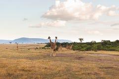 Grupa żyrafy w sawannie przy Afryka Zdjęcia Stock
